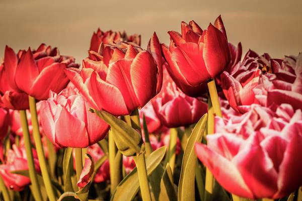 Photograph - Tulip Fields by Anjo Ten Kate