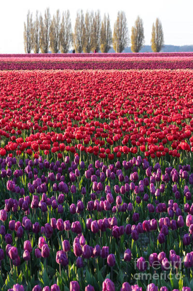 Photograph - Tulip Fields Forever Vertical by Carol Groenen