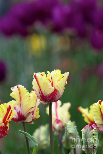 Photograph -  Tulip Flaming Parrot Flowers by Tim Gainey