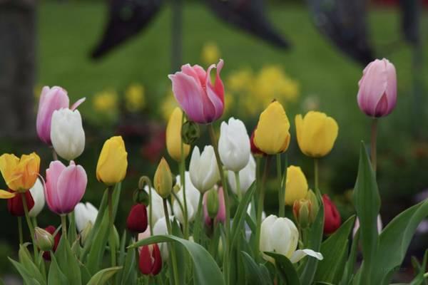 Photograph - Tulip Garden by Lynda Anne Williams