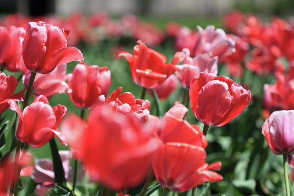 Photograph - Tulip Garden by Mike Murdock