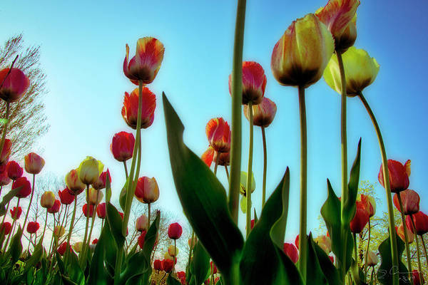 Photograph - Tulip Holland Michigan 85 by Evie Carrier