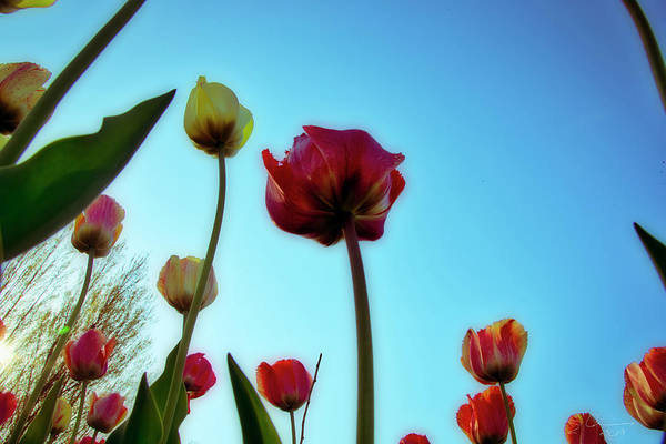 Photograph - Tulip Holland Michigan 88 by Evie Carrier