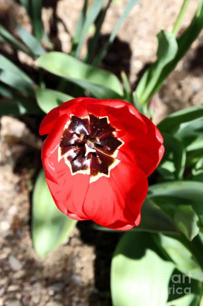 Wall Art - Photograph -  Tulip In Full Bloom by Jeff Swan