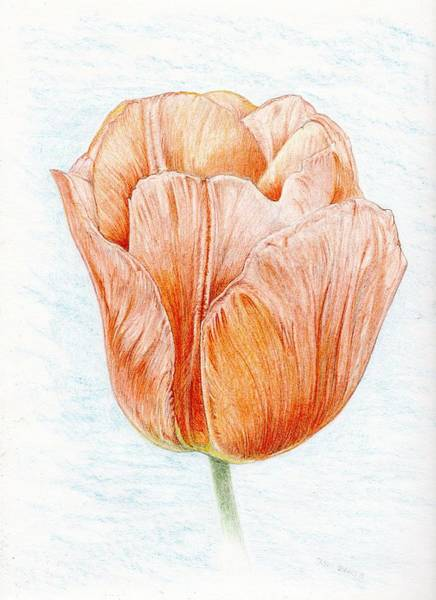 Drawing - Tulip In Peach by Jason Girard