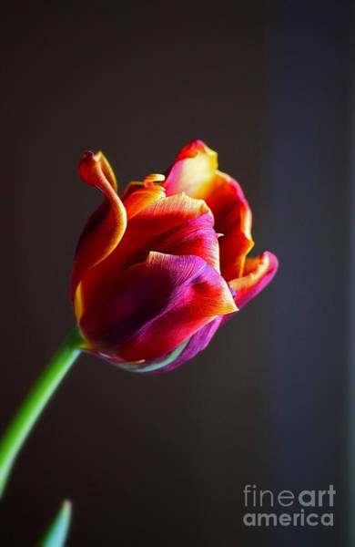 Photograph - Tulip In The Light by Patti Whitten