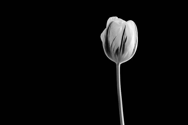 Photograph - Tulip by John Rodrigues