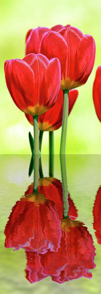 Wall Art - Photograph - Tulip Reflections  by Geraldine Scull