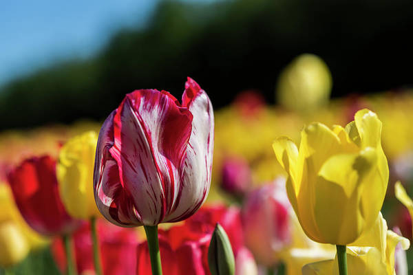 Photograph - Tulip Saturation by Robert Potts