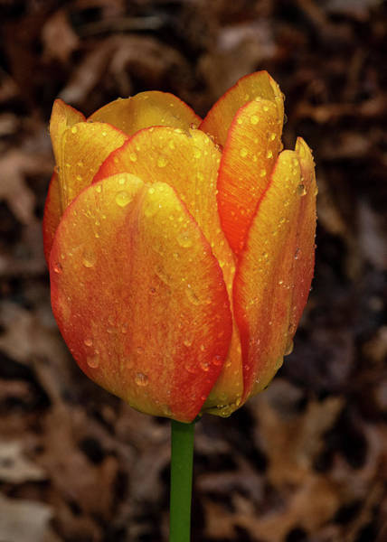Photograph - Tulip Showers by Cathy Kovarik