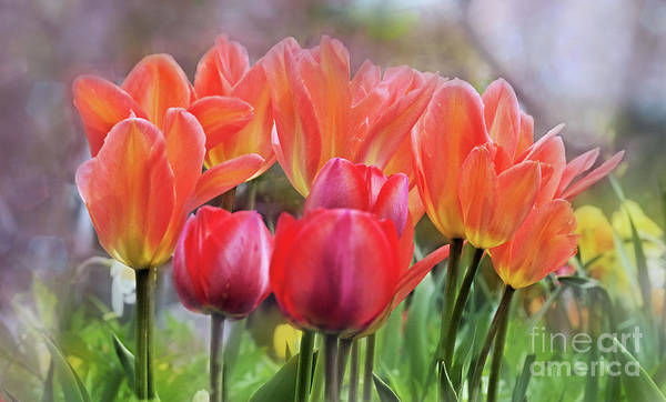 Wall Art - Photograph - Tulip Time In Spring by Elaine Manley
