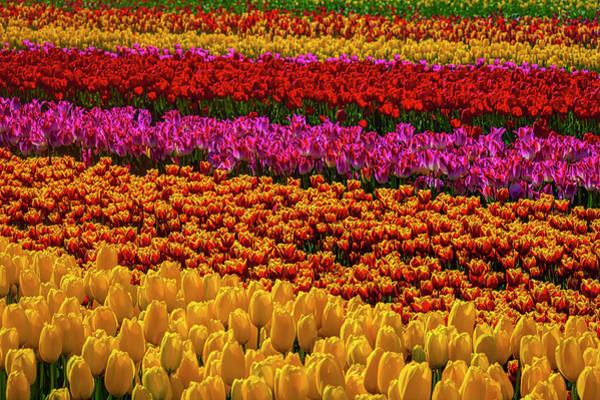 Wall Art - Photograph - Tulip World by Garry Gay
