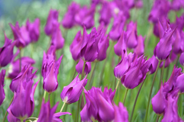 Photograph - Tulipa Purple Dream 1 by Jenny Rainbow