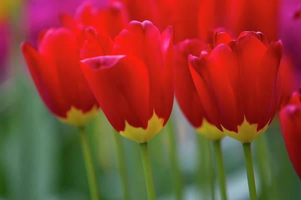 Keukenhof Wall Art - Photograph - Tulipa Red Didier, Keukenhof, Nederland by Gaston Piccinetti