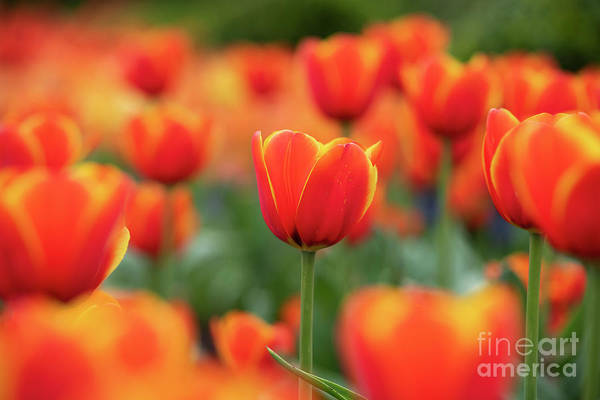 Photograph - Tulipa Worlds Favourite Flowers  by Tim Gainey