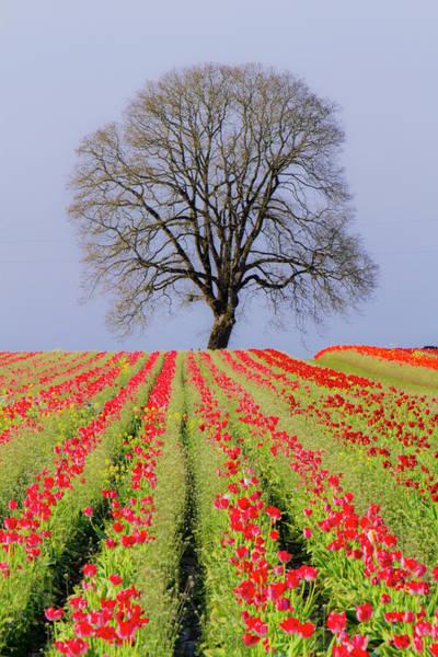 Wall Art - Photograph - Tulips & Tree Silhouette by Bob Pool