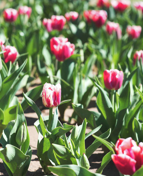 Photograph - Tulips 10 #floral #tulip by Andrea Anderegg