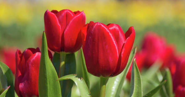 Photograph - Tulips 12 #floral #tulip by Andrea Anderegg