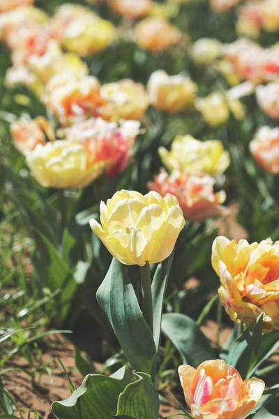 Photograph - Tulips 7 #floral #tulip by Andrea Anderegg