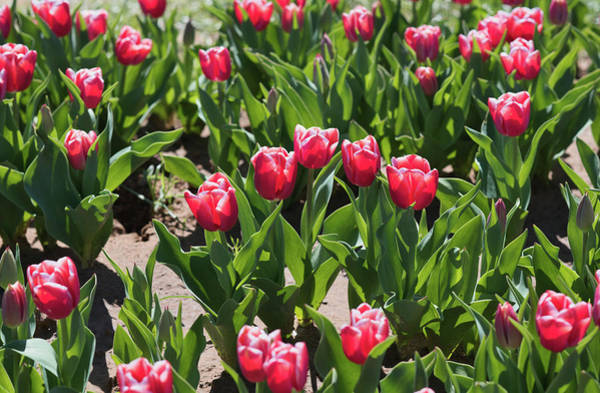 Photograph - Tulips 8 #floral #tulip by Andrea Anderegg