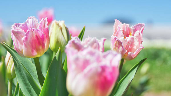 Photograph - Tulips 9 #floral #tulip by Andrea Anderegg
