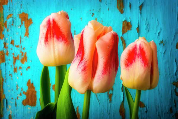 Wall Art - Photograph - Tulips Against Blue Wall by Garry Gay