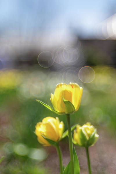 Photograph - Tulips And Bokeh Bubbles by Brian Hale
