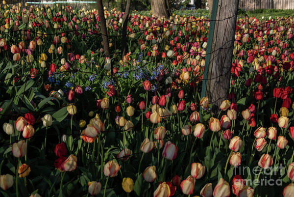 Wall Art - Photograph - Tulips And More by David Bearden
