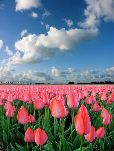 Dutch Tulip Photograph - Tulips And Sky by Jacobh