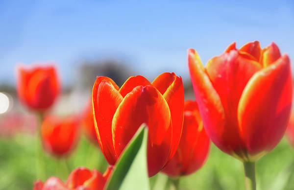 Photograph - Tulips by Andrea Anderegg