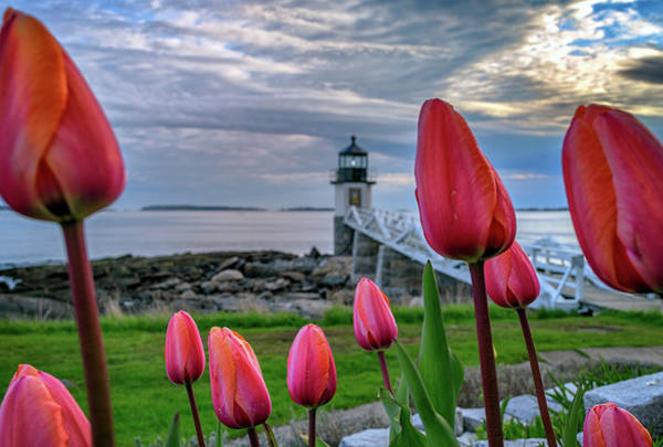 Photograph - Tulips At Marshall Point by Rick Berk