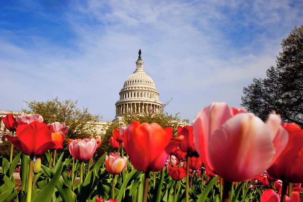 Rotunda Photograph - Tulips Below Us Capitol Building In by Danita Delimont