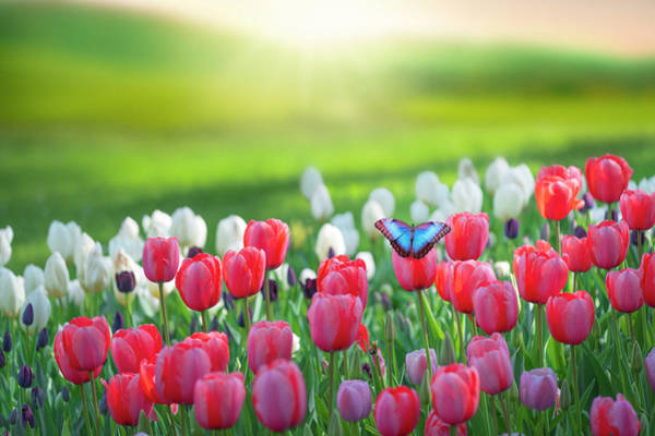 Photograph - Tulips Field by Giovanni Allievi