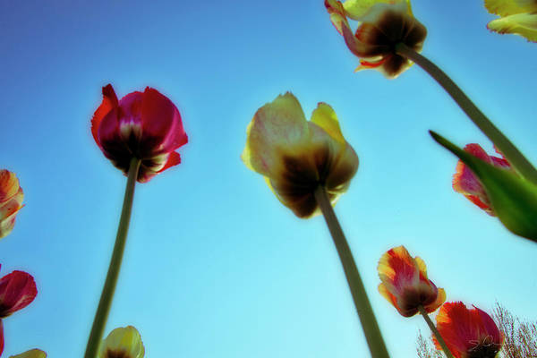 Photograph - Tulips Holland Michigan 02 by Evie Carrier