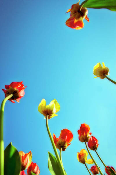 Photograph - Tulips Holland Michigan 16 by Evie Carrier