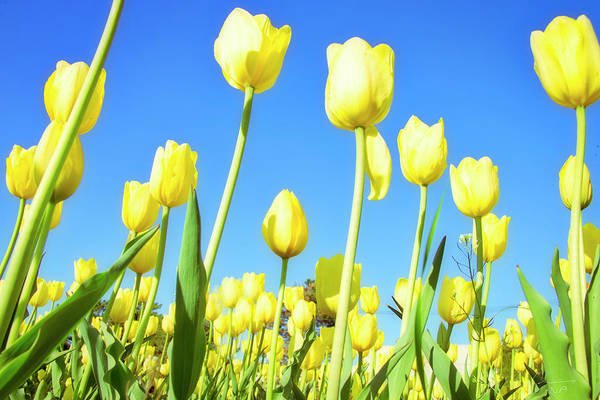 Photograph - Tulips Holland Michigan 67 by Evie Carrier
