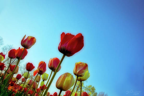 Photograph - Tulips Holland Michigan 81 by Evie Carrier