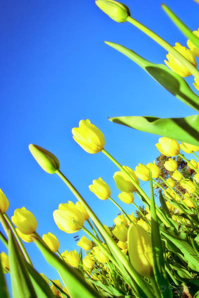 Photograph - Tulips Holland  Michigan 838 by Evie Carrier