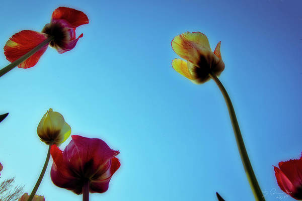 Photograph - Tulips Holland Michigan 91 by Evie Carrier