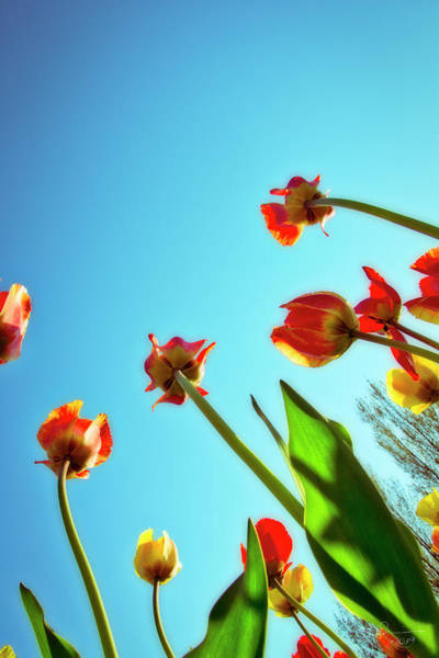 Photograph - Tulips Holland Michigan 913 by Evie Carrier