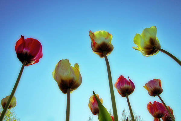 Photograph - Tulips Holland Michigan 94 by Evie Carrier