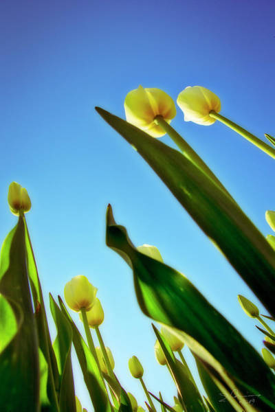 Photograph - Tulips Holland Michigan 944 by Evie Carrier
