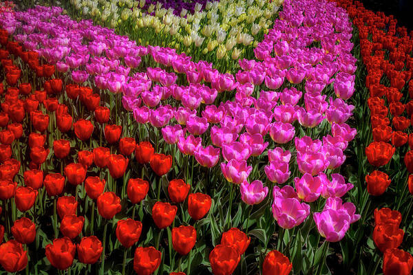 Wall Art - Photograph - Tulips In A Vee by Garry Gay