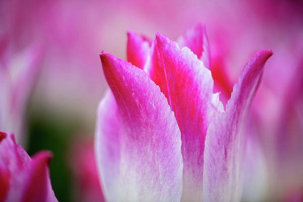 Photograph - Tulips In Bloom by Josh Eral