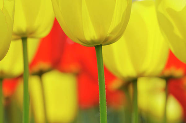 Keukenhof Photograph - Tulips In Spring, Close-up, Selective by Martin Ruegner
