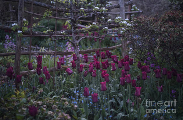 Photograph - Tulips In The Evening Light by Perry Rodriguez
