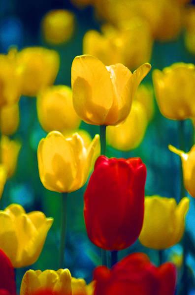 Dutch Tulip Photograph - Tulips by John Foxx