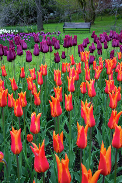 Photograph - Tulips by Mark Papke