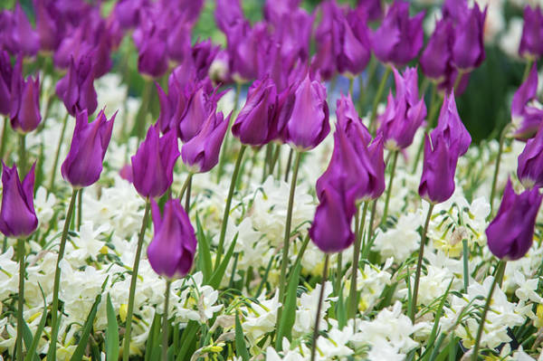 Photograph - Tulips Purple Dream With White Daffodils by Jenny Rainbow
