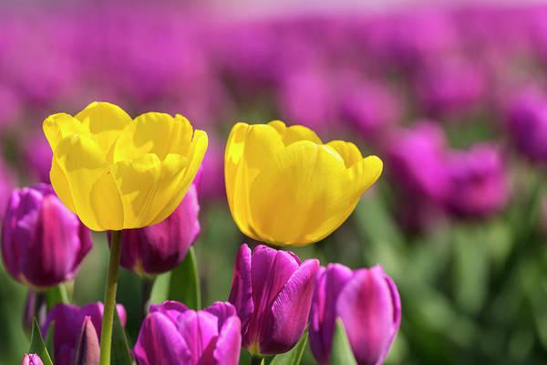 Wall Art - Photograph - Tulips, Skagit Valley Tulip Festival by Adam Jones